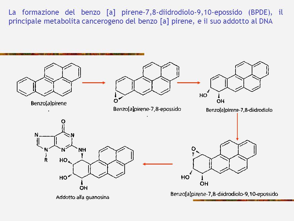La formazione del benzo [a] pirene-7,8-diidrodiolo-9,10-epossido (BPDE), il principale metabolita cancerogeno del benzo [a] pirene, e iI suo addotto al DNA